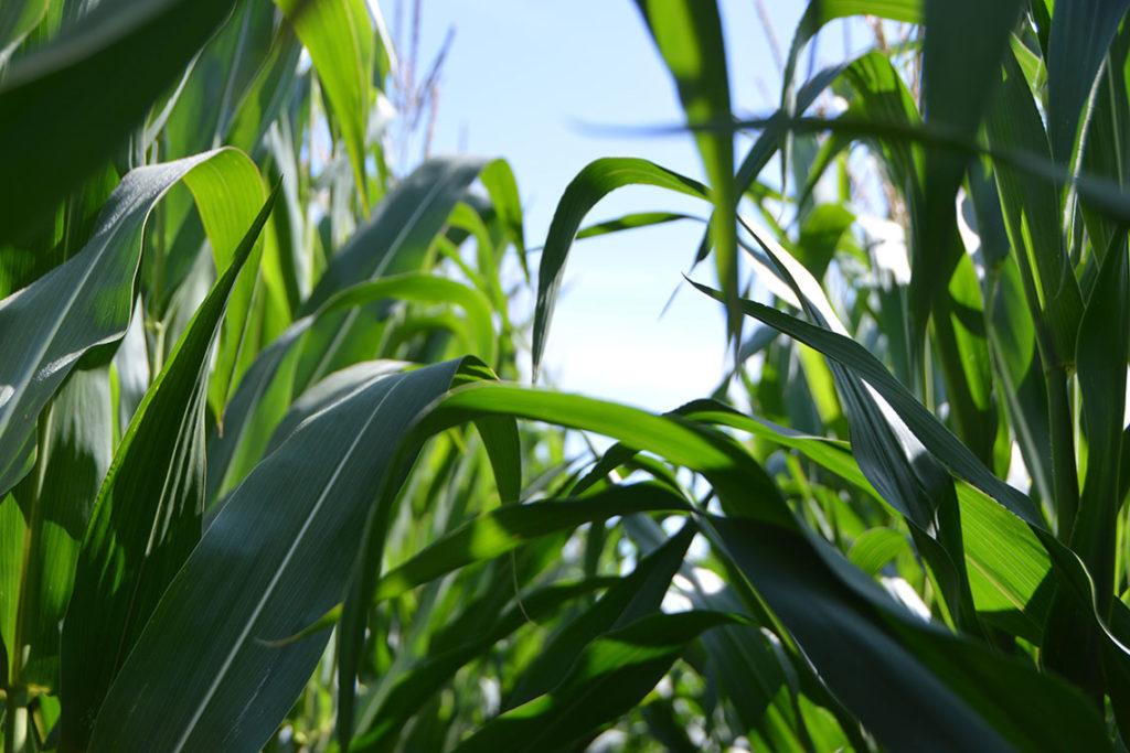 Corn field with phosphorus as fertilizer